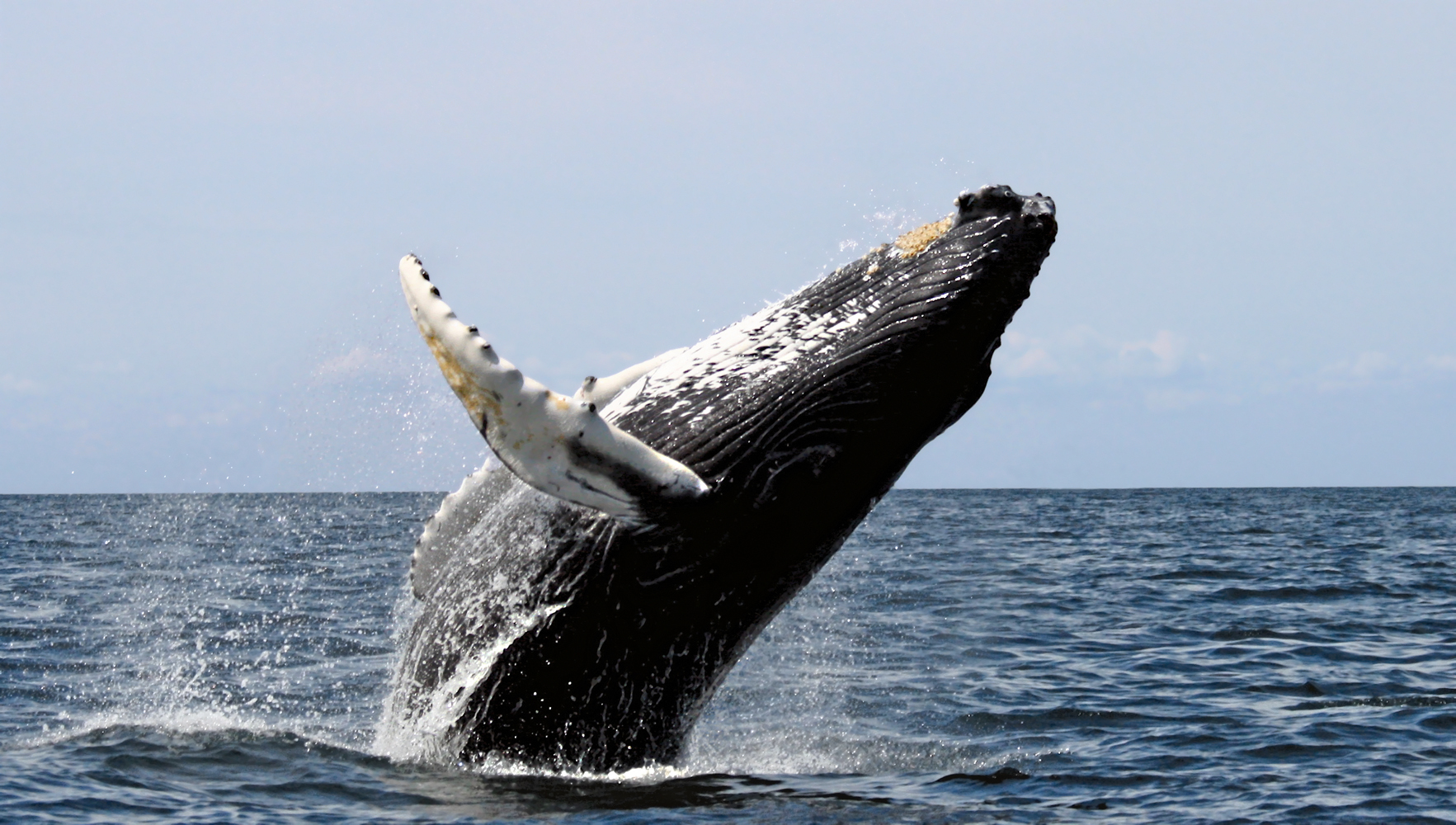 Humpback whales in at least 9 of 14 major regions around the world are no longer considered endangered.