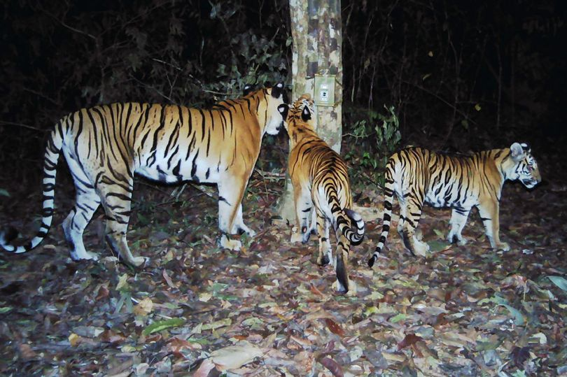 The Indochinese tiger might be breeding after years of being poached.