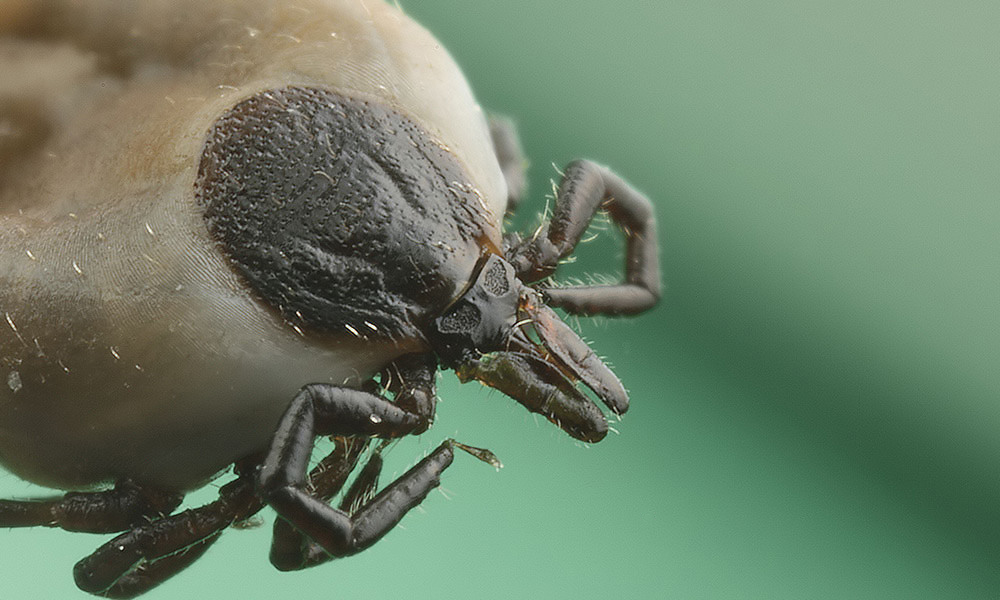 Candidatus is spread by Ixodes ricinus ticks.