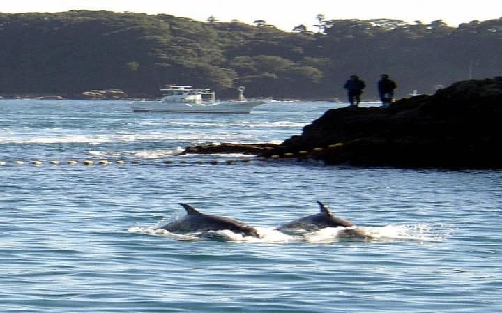 Dolphins have reportedly escaped from a controversial holding site in Japan.