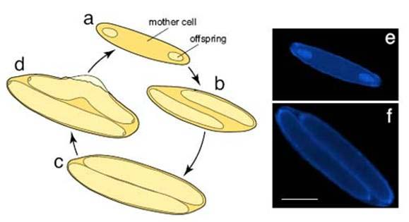Daughter cells divide within the parent cell.