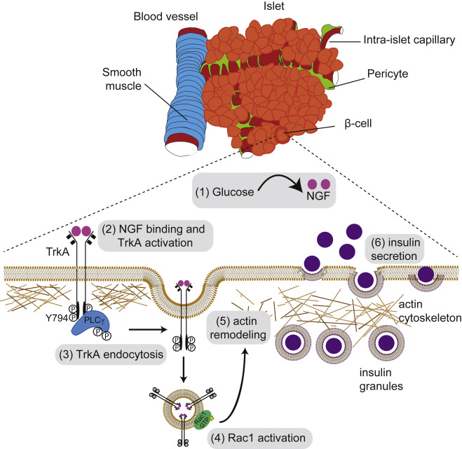 (1) NGF is secreted by pancreatic VSMCs and intra-islet pericytes in response to elevated glucose. (2) Vascular-derived NGF activates TrkA receptors on islet ? cells. (3) TrkA phosphorylation leads to association & activation of the downstream effector, PLC?, which triggers receptor internalization. (4) Endosomal signaling from internalized TrkA receptors recruits & activates the actin-modulatory protein Rac1, to (5) remodel a peripheral F-actin barrier & (6) promote insulin granule exocytosis./Credit: Dev Cell Houtz et al