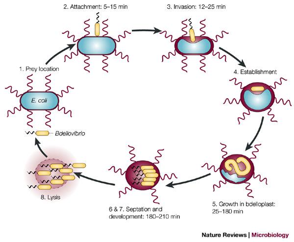 Bdellovibrio life cycle