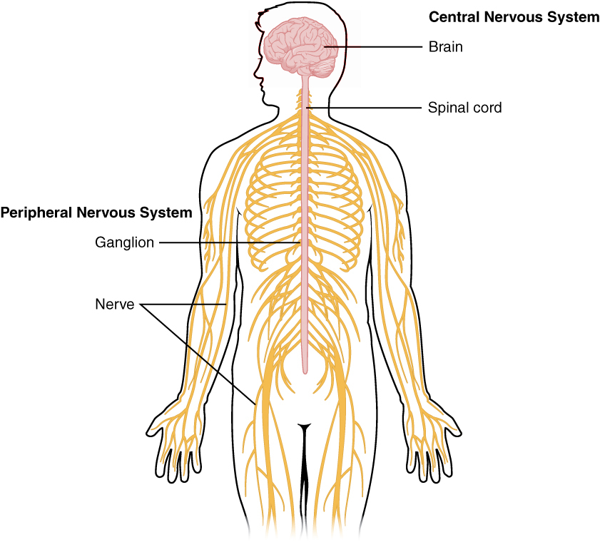 A diagram of the peripheral and central nervous systems from Wikipedia