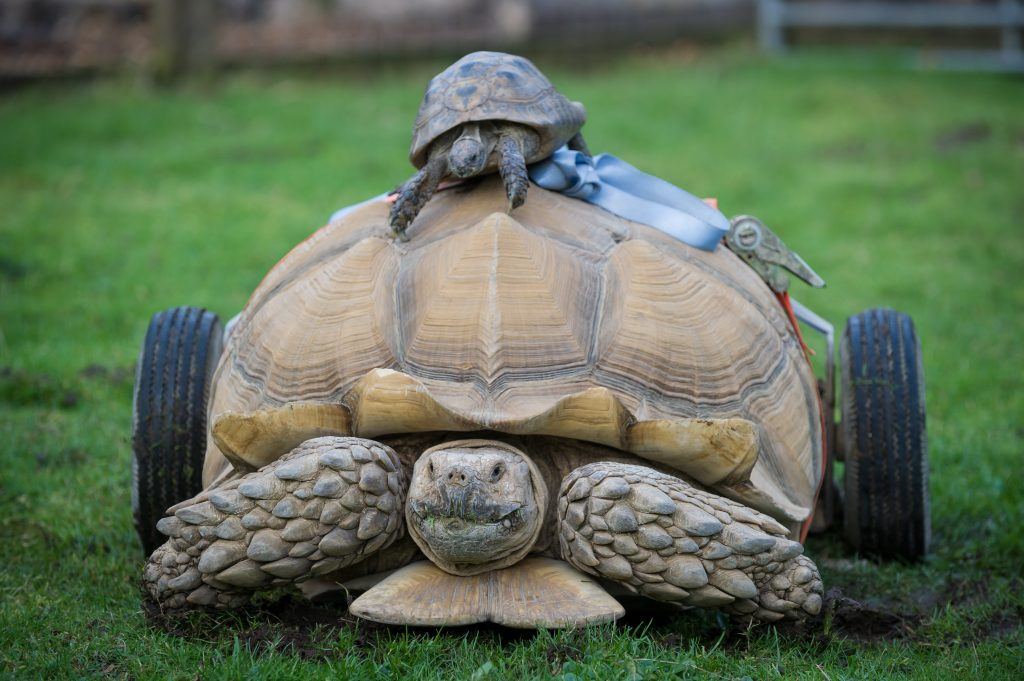 This tortoise now has a set of wheels to help him get around, all because he had a little too much play time with the ladies.