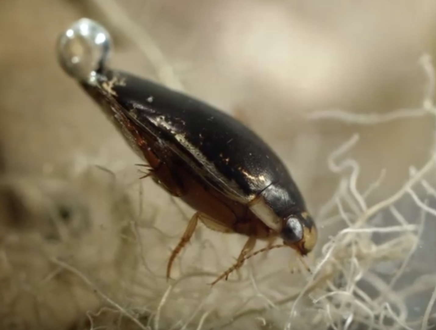 An example of a diving beetle, which brings air bubbles down with it as it hunts under water.