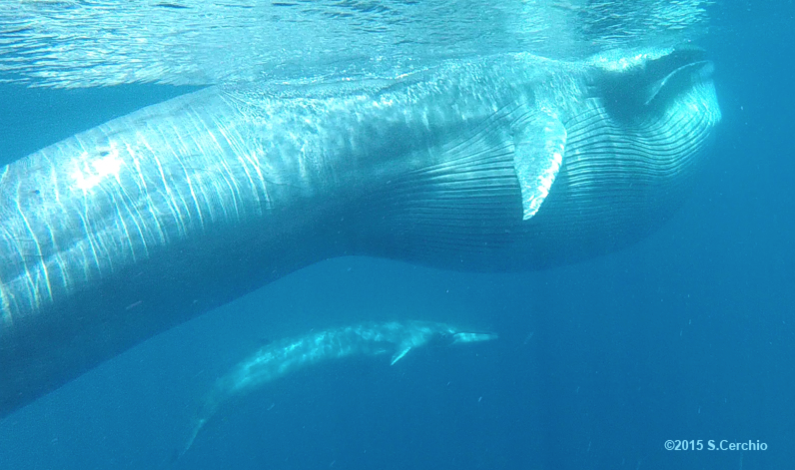 An Omura's whale and her calf in the ocean.