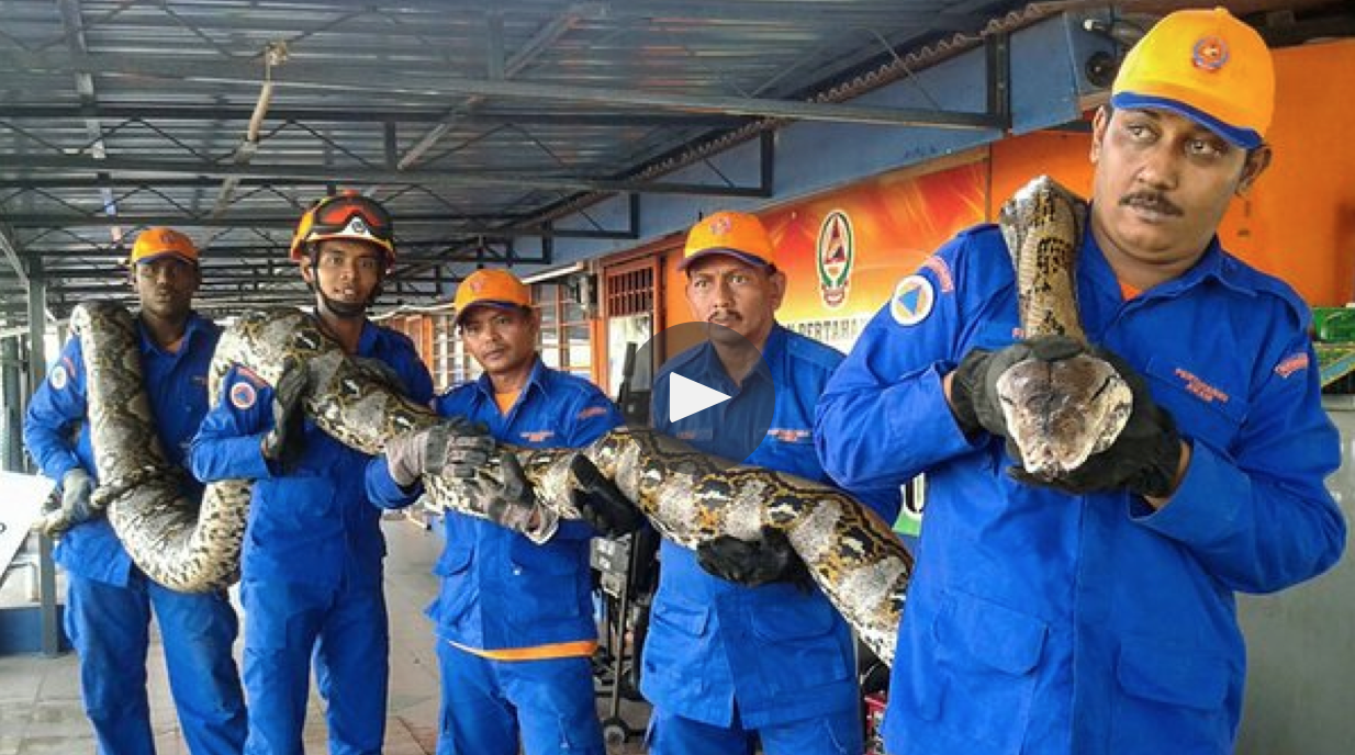 A Malaysian python has passed away just days after its capture.