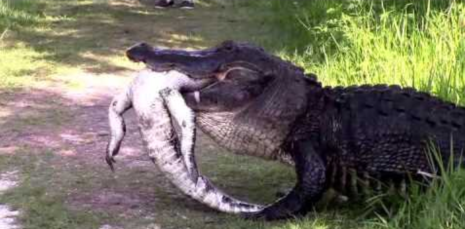 A large American alligator was filmed in Florida as it munched on a smaller gator.