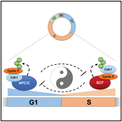 A temporally controlled, double-negative feedback loop between two cell-cycle E3 ubiquitin ligases, APC/C and SCFcyclin F controls APC/C inactivation at the G1/S boundary,  cell-cycle progression and may represent a unique feature of other oscillating systems. / Credit: Cell Reports Choudhury et al