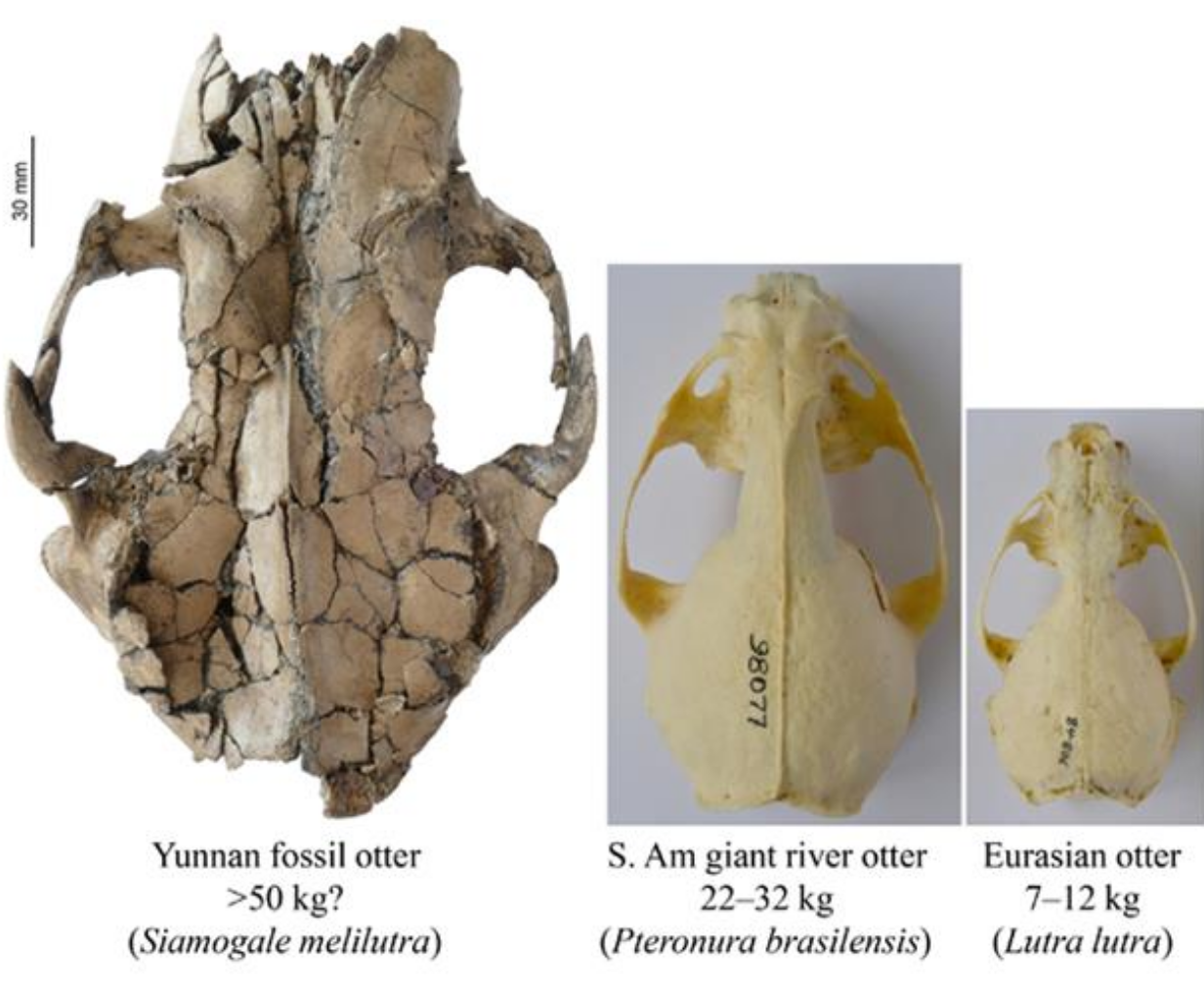 A scale size comparison of the newly-discovered otter skull compared to modern-day otter skulls.