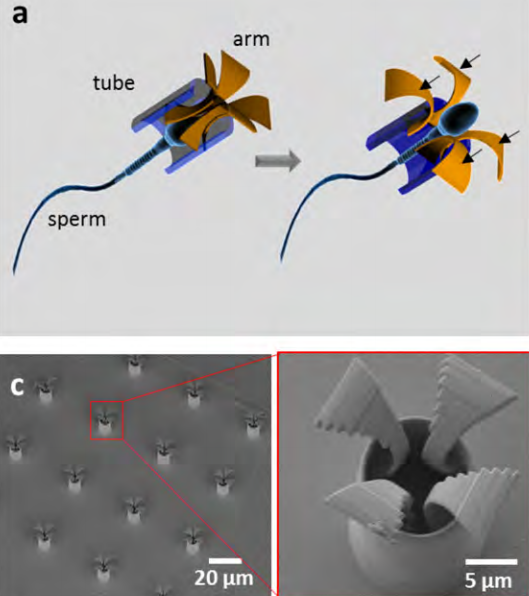 (a) Schematic of the sperm-hybrid micromotor and sperm release process. Black arrows = the reactive force on the arms upon hitting an obstacle. (c) SEM images of an array of printed tetrapod microstructures. / Credit: Medical Physics