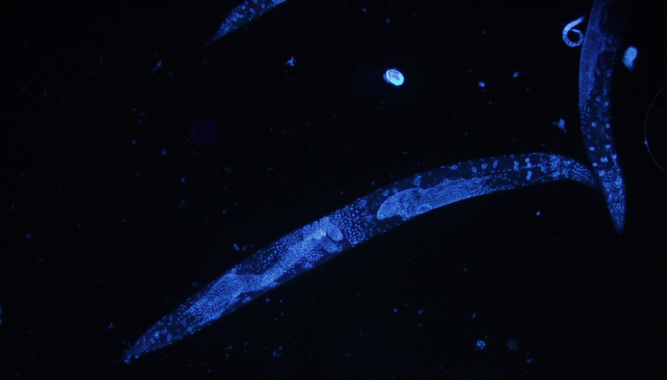 C. elegans stained with DAPI / Credit: Wikimedia Commons