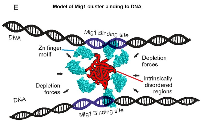 Schematic of depletion-stabilized Mig1 cluster bound to multiple promoter targets (Zn finger PDB ID: 4R2E). / Credit: eLife Wollman et al