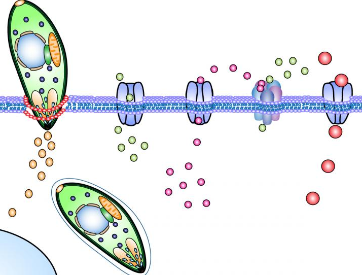 Image illustrates Toxoplasma gondii tachyzoites invading across the cell membrane of a host cell. Upon invasion, a signaling cascade is activated via chloride channels, GABA channels and calcium signaling that mediates the migratory activation of the infected immune cell. / Credit/Illustration: S. Kanatani