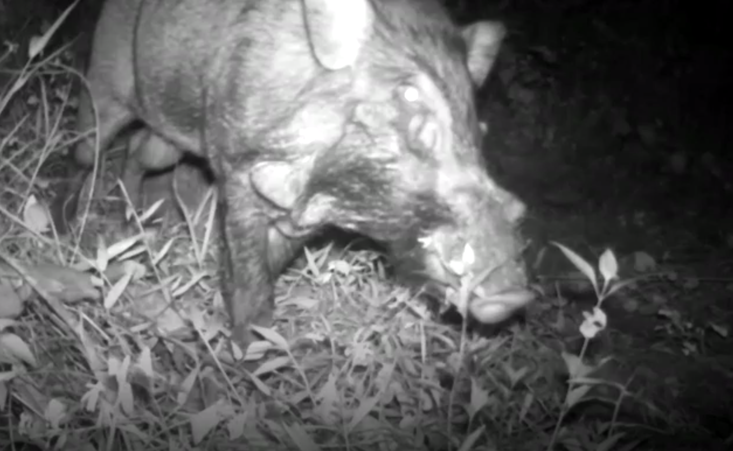 The Javan warty pig, as seen from the camera traps in the Indonesian wilderness.