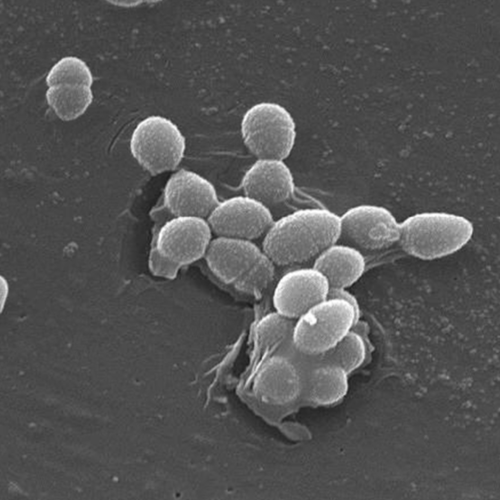 Scanning Electron Micrograph of Enterococcus faecalis / Credit: CDC