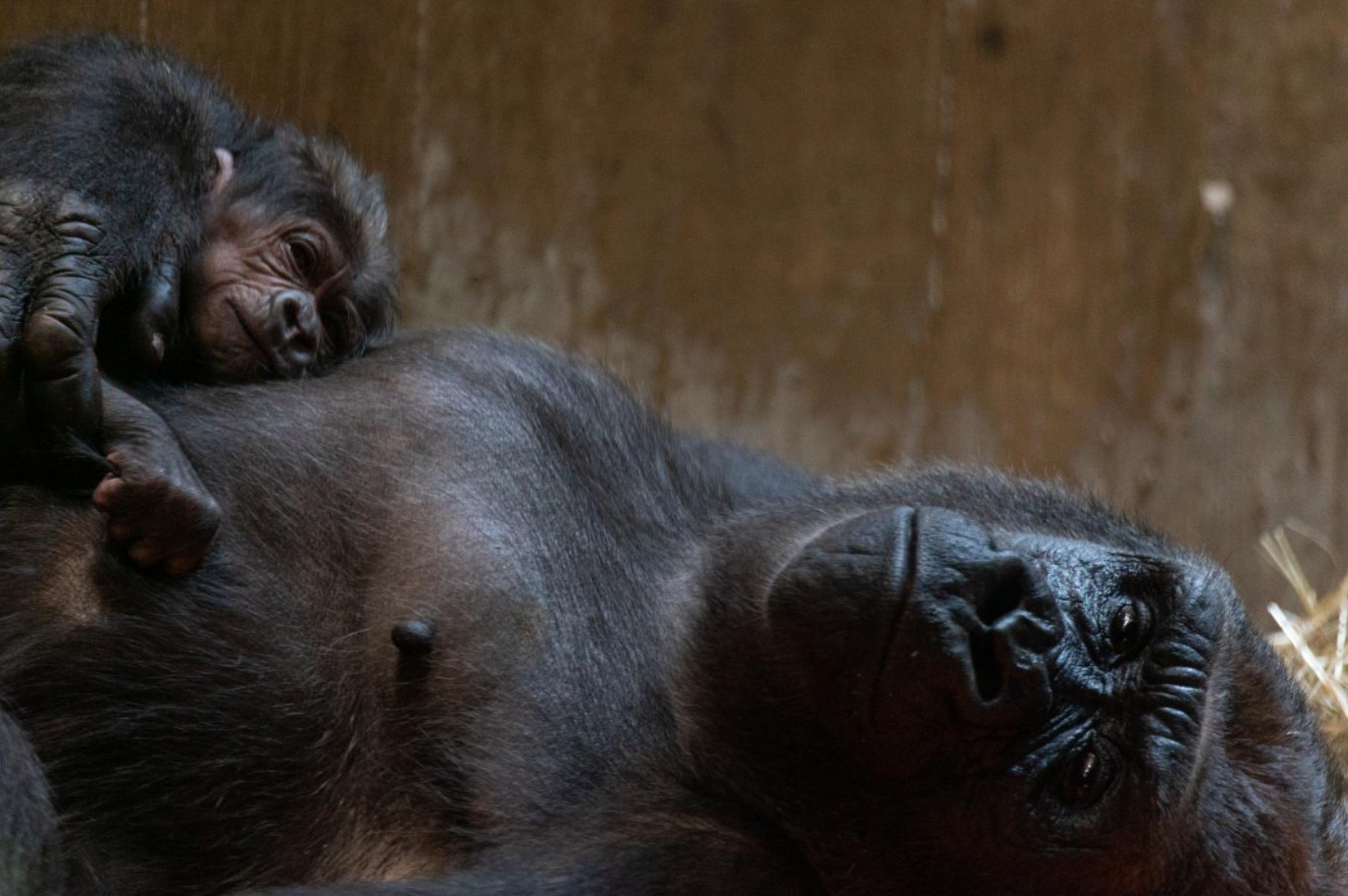 Moke, the newborn gorilla, poses for a picture with his mother.