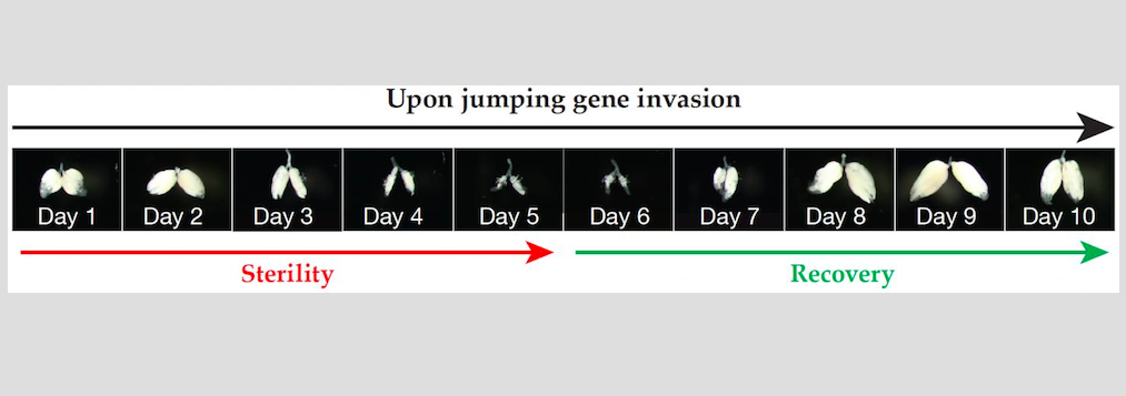 Ovaries after jumping gene invasion, DNA damage checkpoint pause, and repair  / Credit: Zhao Zheng Carnegie Institution