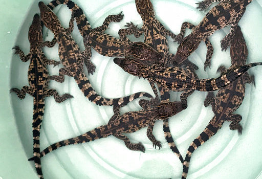 Nine Siamese crocodile hatchlings are photographed shortly after hatching in Cambodia.