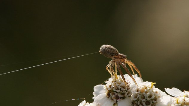 Spiders may have used their silk as kites to fly hundreds of miles across the ocean to a remote island.