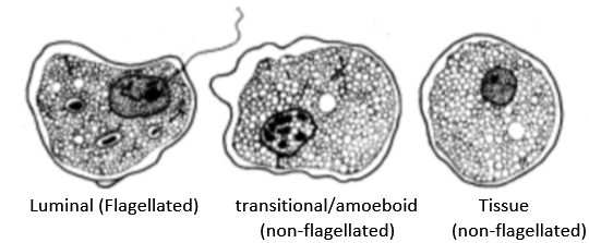 Flagellated and amoebic has flagellated and amoebic forms.