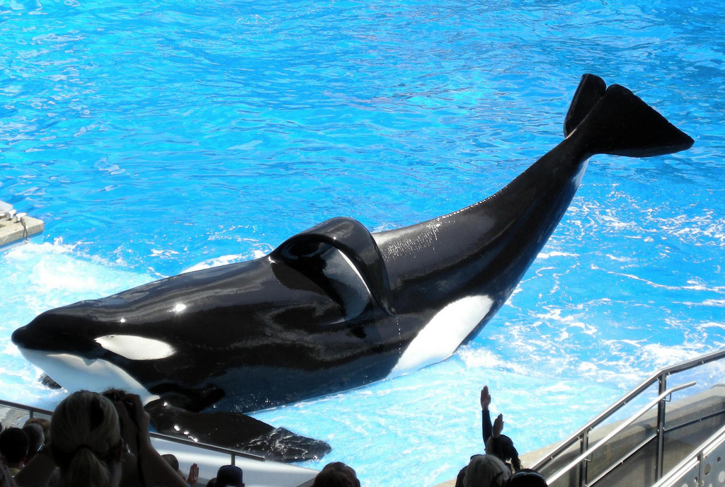 Tilikum, the orca that passed away, has been featured in numerous shows at SeaWorld in Orlando, Florida.