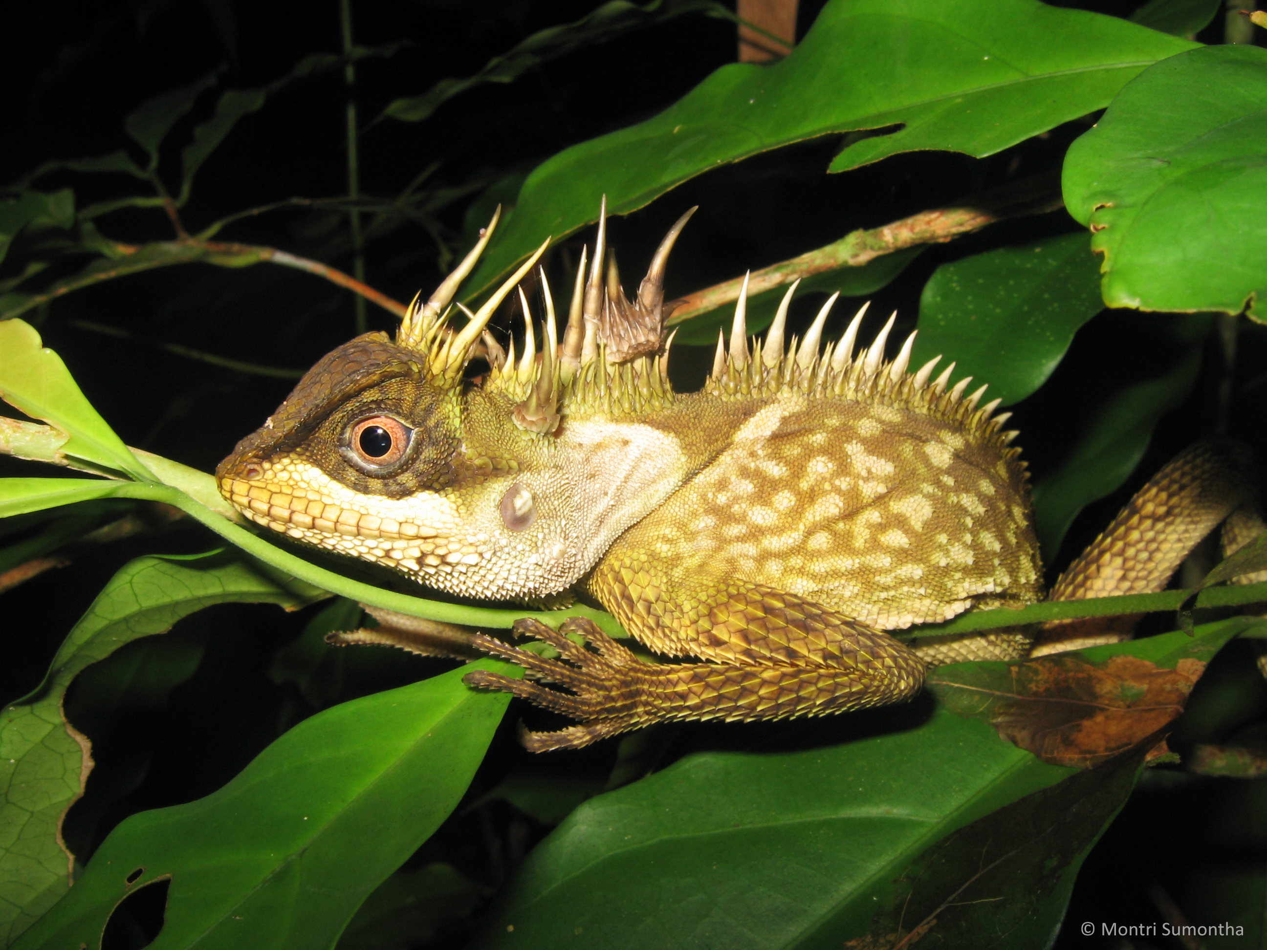 The Phuket Horned Tree Agamid has a weird assortment of horns on its body.