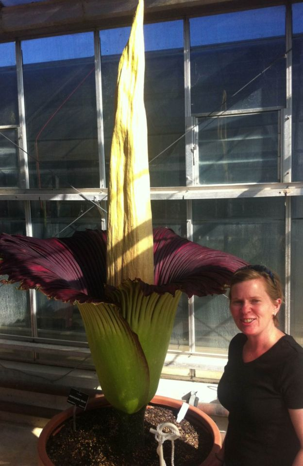 The Australian corpse flower bloomed on Monday, and smelled terrible.