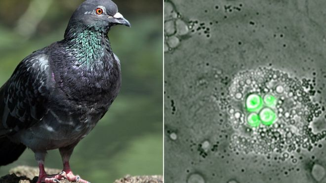 Birds reportedly have a specialized white blood cell that is immune to fungal infections.