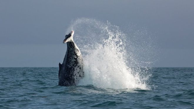 A humpback whale spotted off the coast of New Zealand is missing its tail fins.
