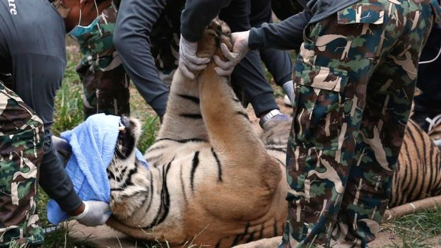 137 fully-grown tigers are transported from a temple in Thailand to an animal refugee facility.