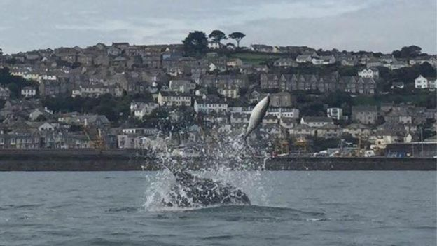 The porpoise is seen being launched from the water by the bottlenose dolphin in Cornwall.
