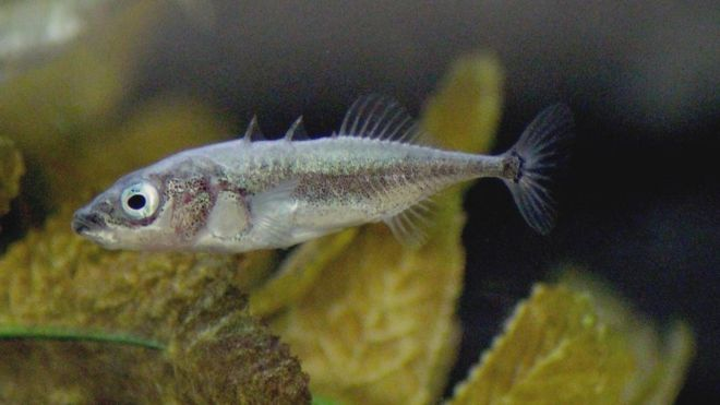 The stickleback was the main type of fish observed in these experiments to measure how fish pool their experience together to ensure survival of even the unfittest.