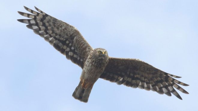 Hen harriers are beautiful birds, but their numbers are in serious decline.