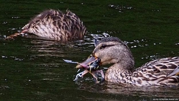 A mallard duck is seen with a small gray wagtail in its mouth after drowning it.