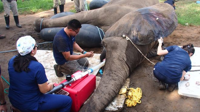 Tantor is anesthetized so that officals can perform the root canal procedure safely.
