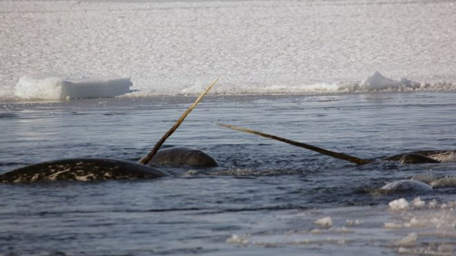 "Narwhals are considered ""unicorns of the sea,"" and it's not hard to see why."