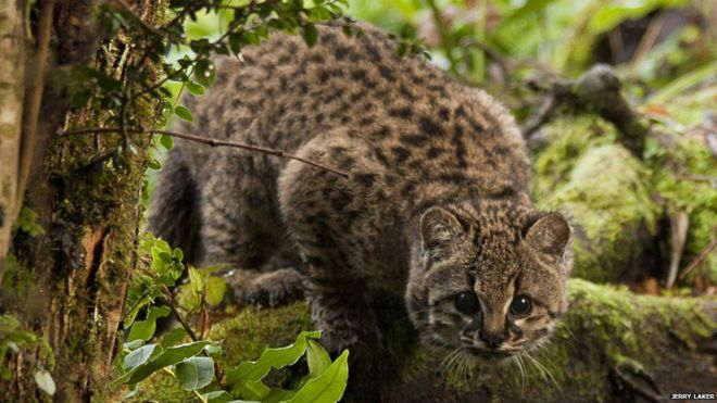 The güiña wildcat from Chile exhibits high tolerance toward land development.