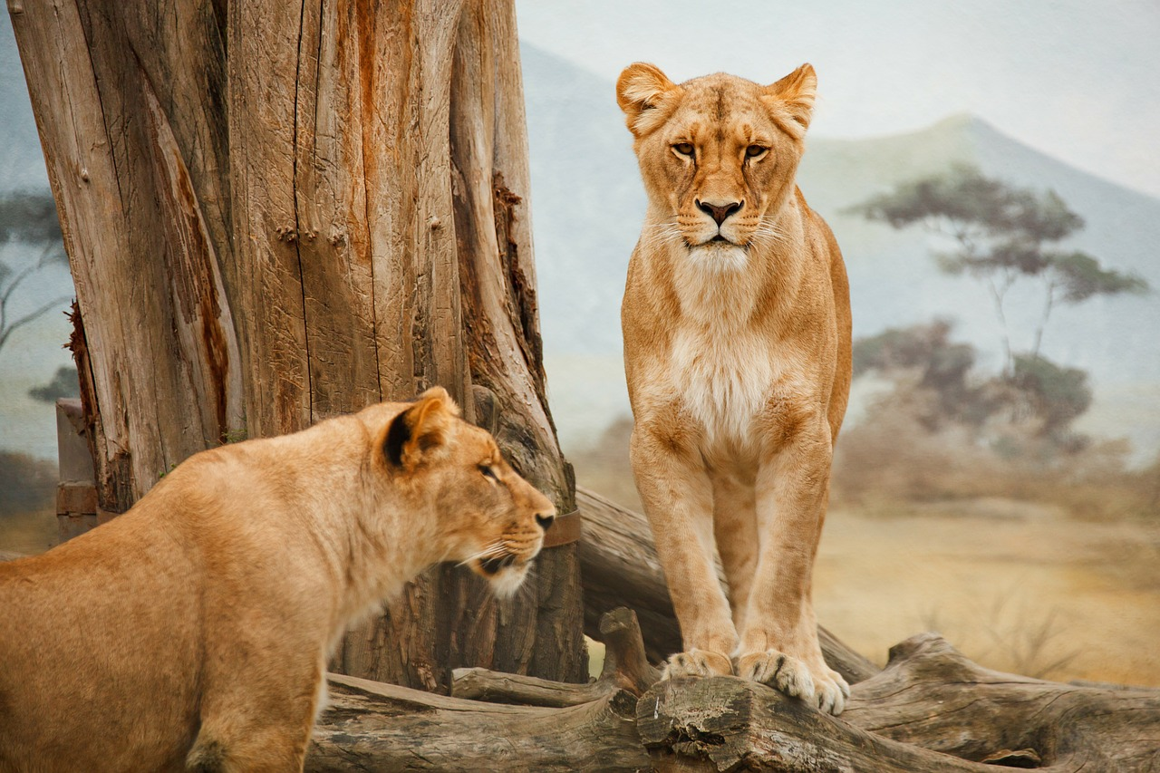 Lions are among the large carnivores that are being pushed from their natural habitat in the face of land development.
