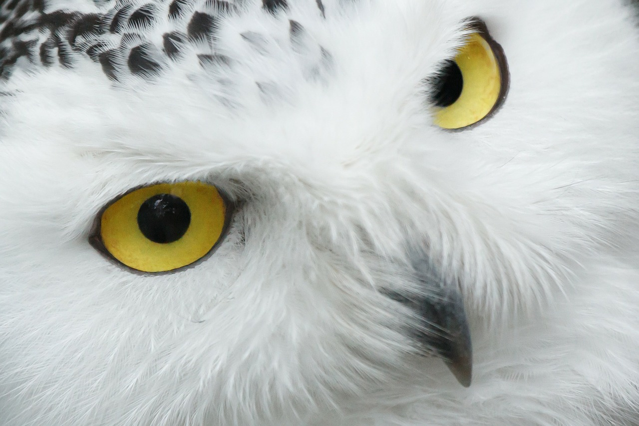 Migration season is helping researchers study the life and behavior of snowy owls.