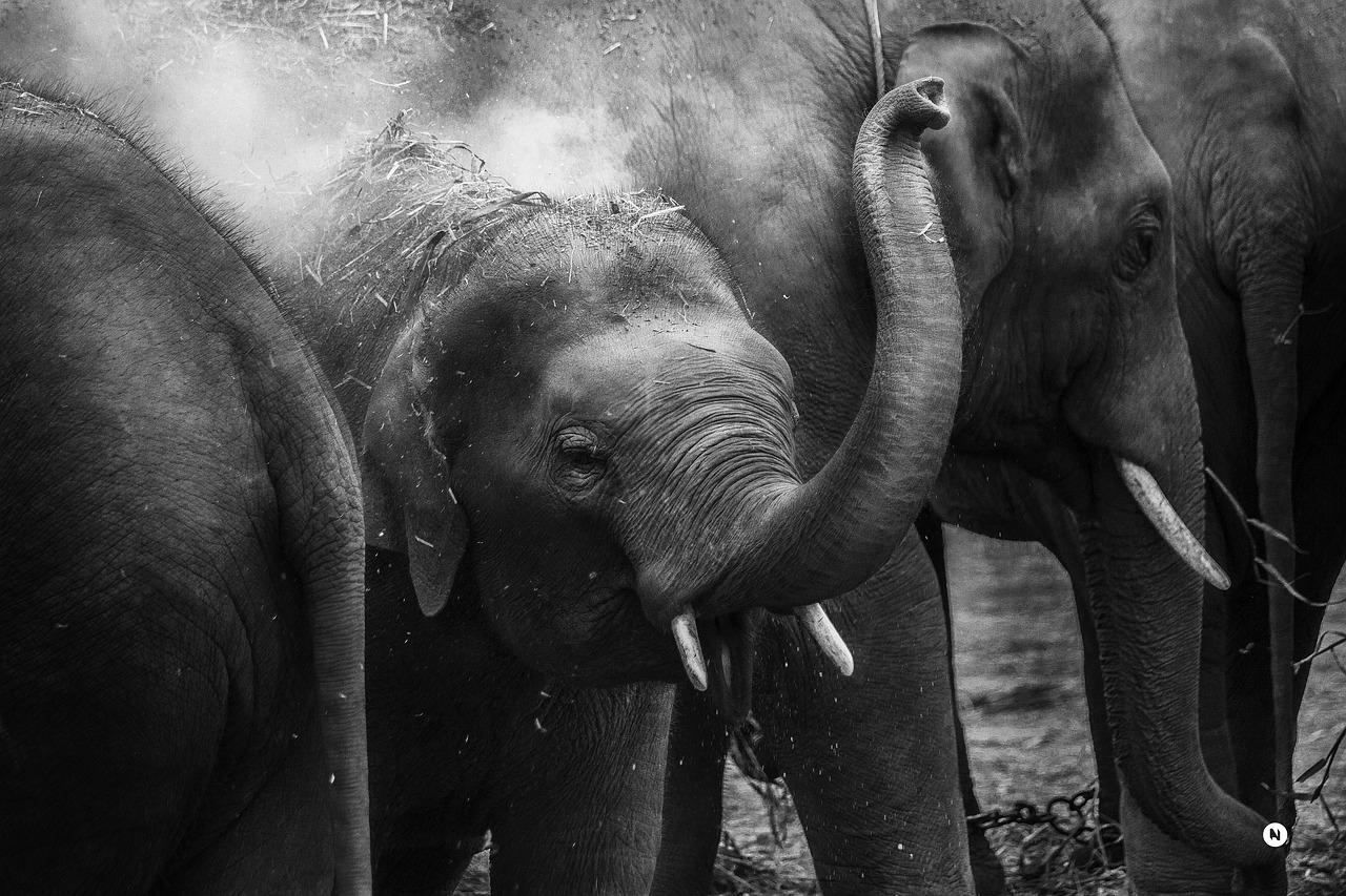 Elephants can use their trunks for a myriad of tasks.