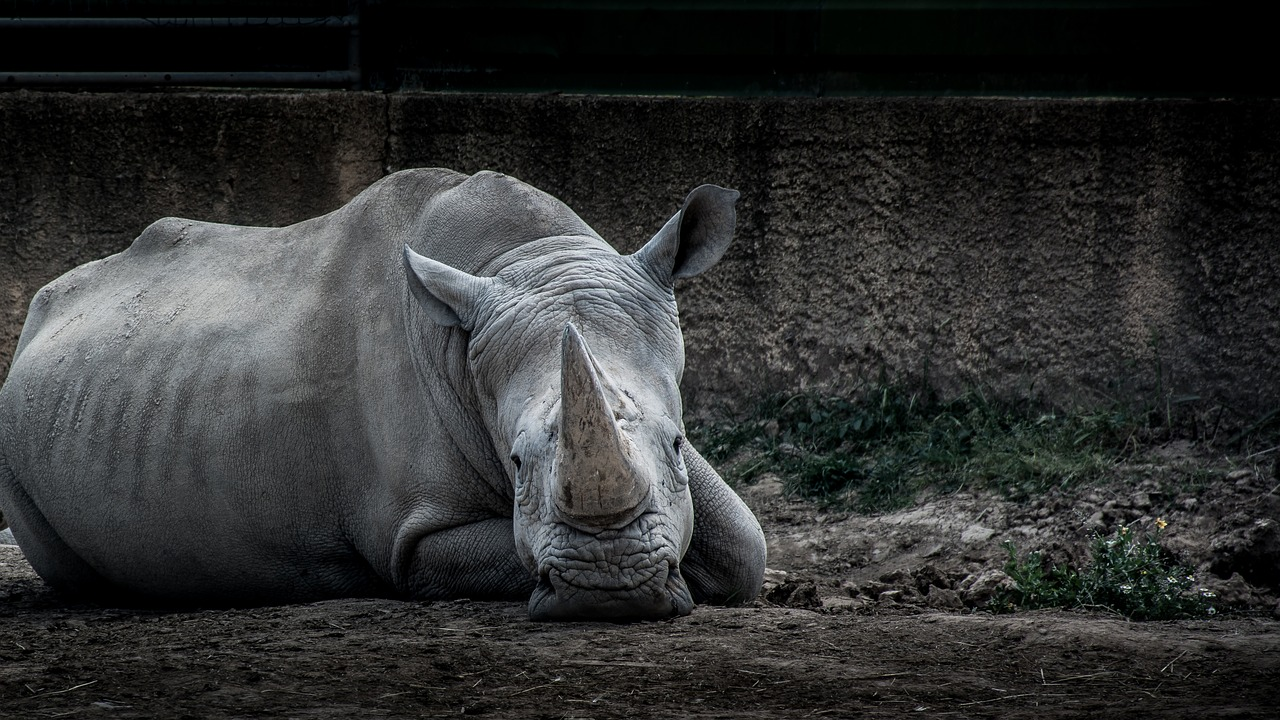 South Africa monitors rhino losses year after year since rhino horn is such a hot commodity in some neighboring Asian nations.