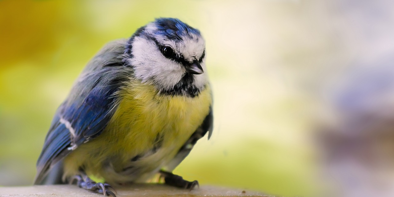 The blue tit may not get any food from your bird feeders, as larger birds bully their way to the finish line first.