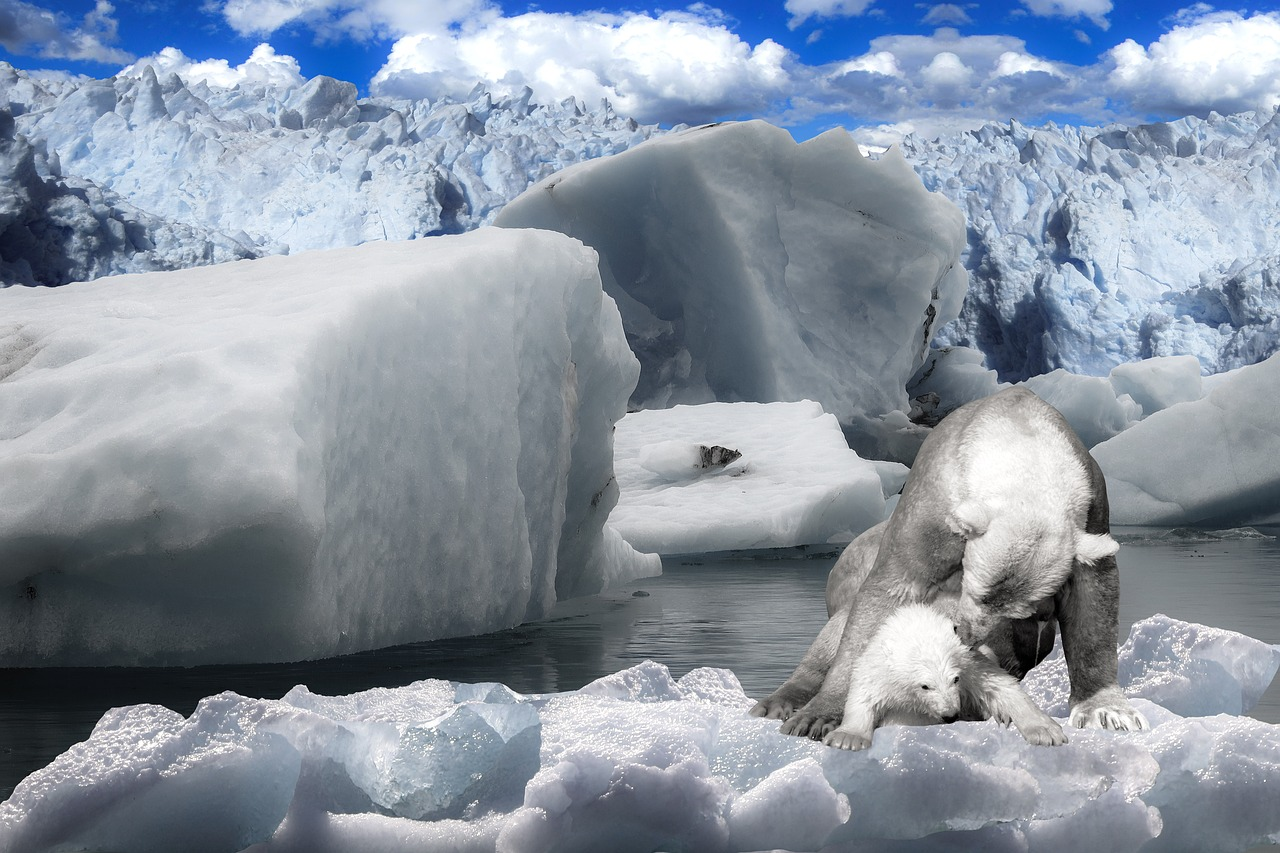 Polar bears are losing traction as Arctic ice continues to melt.