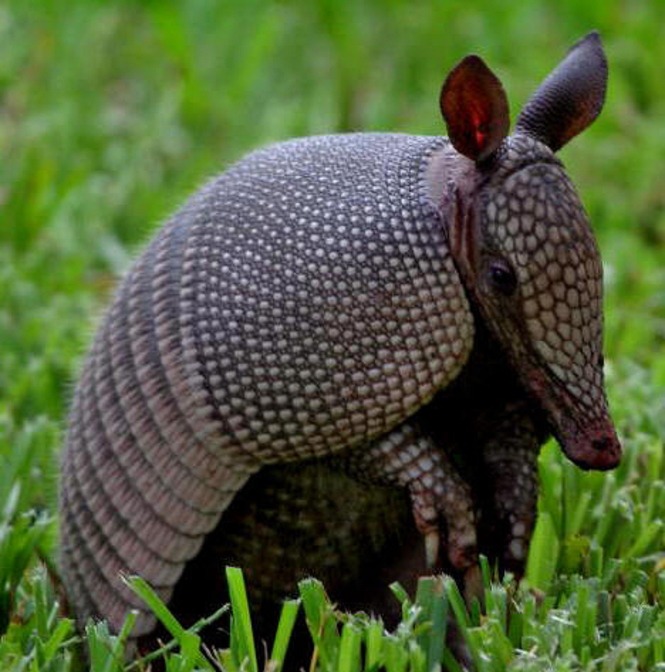 Armadillos in the Southeastern US have been found to be a major reservoir for the organism that causes leprosy in humans, known as Mycobacterium leprae.