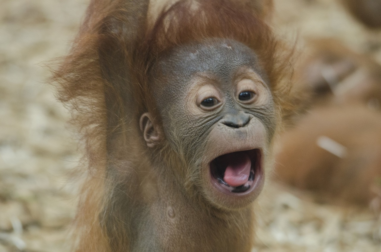 Baby orangutans breastfeed after birth and then slowly transition into a solid food iet before dropping breastfeeding altogether.