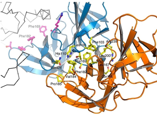 Brazilian and French scientists show that inhibiting the interaction of two key proteins for cell wall elongation can be an effective strategy to kill bacteria of the bacillus type. Image: Nature Communications