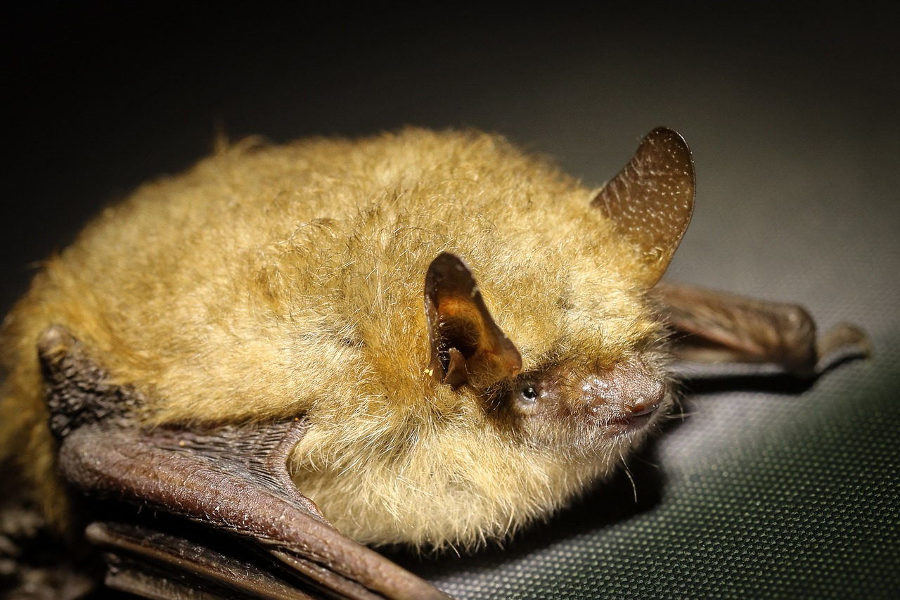 American bats of all kinds are in trouble as scientists scramble to solve a fungus problem.