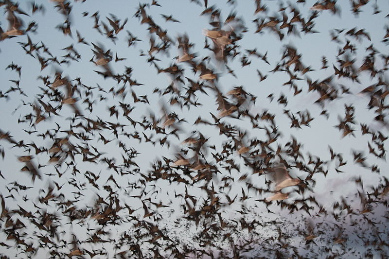Bats exiting a cave, credit: public domain